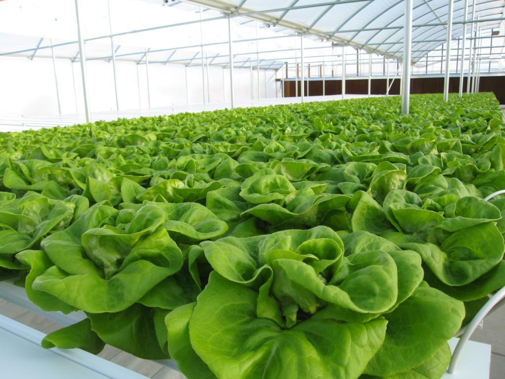 Cara Menanam Sayuran Hidroponik Untuk Bisnis Anda