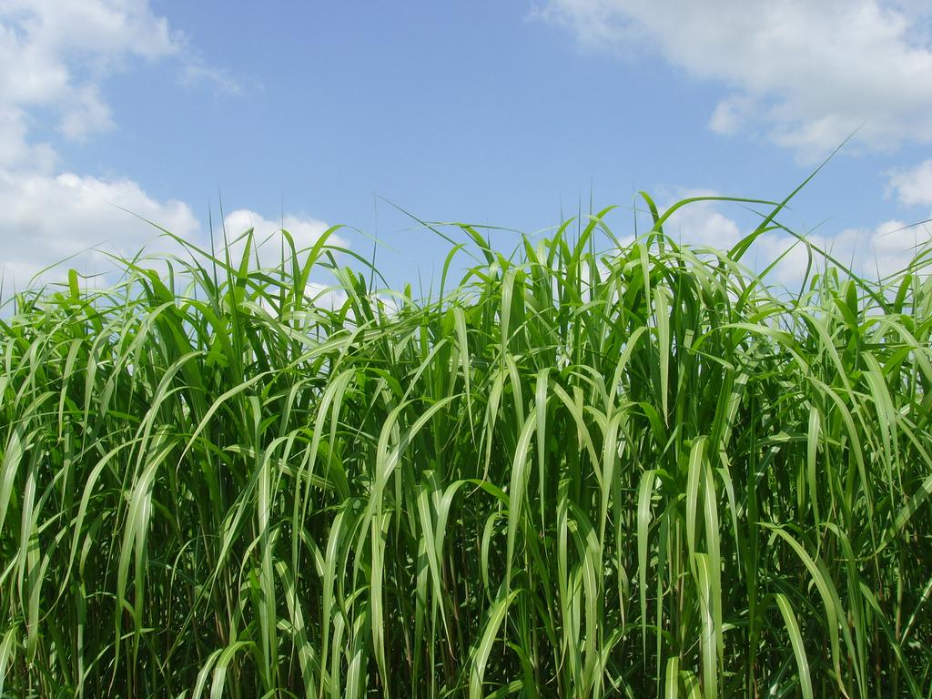 Rumput Odot Untuk Kambing Yang Menyehatkan dan Bernutrisi