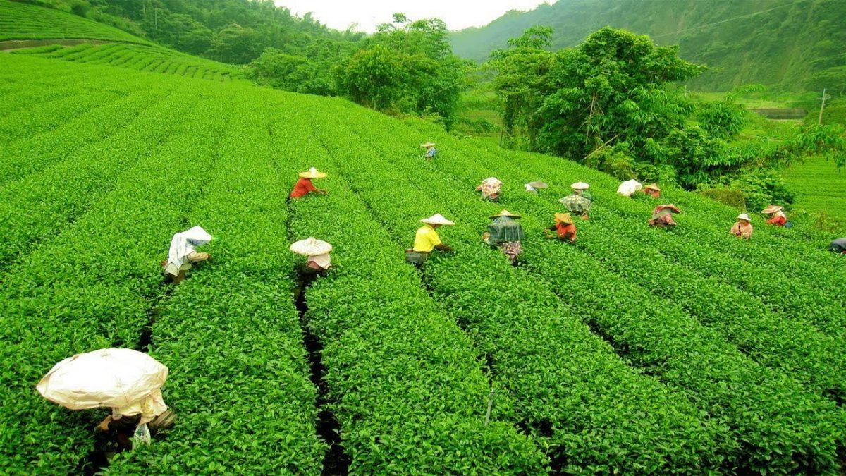 Cara Mengolah Tanah Untuk Bercocok Tanam Tanaman Jagung