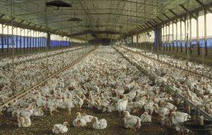 Pastikan Lahan Untuk Memelihara Ayam Petelur Cocok