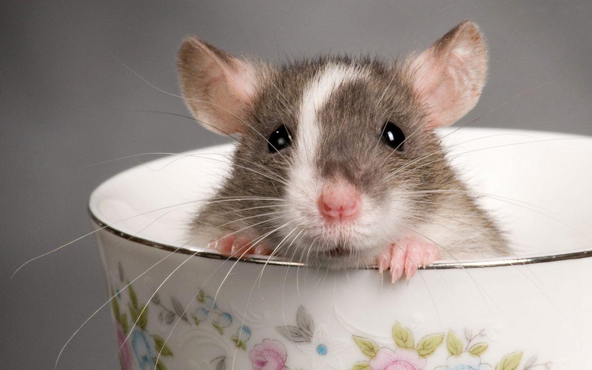 Cara Membasmi Tikus Dengan Bensin Yang Benar