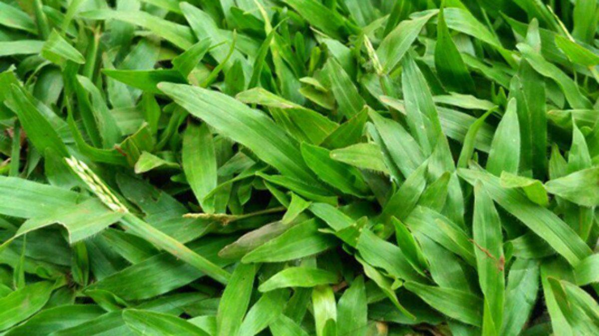 Rumput Pakan Ternak Terbaik Untuk Hewan