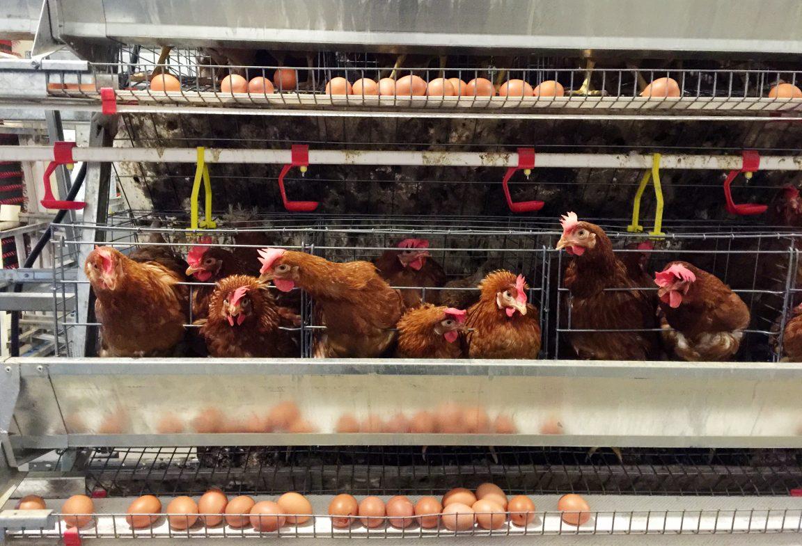 usaha ayam petelur