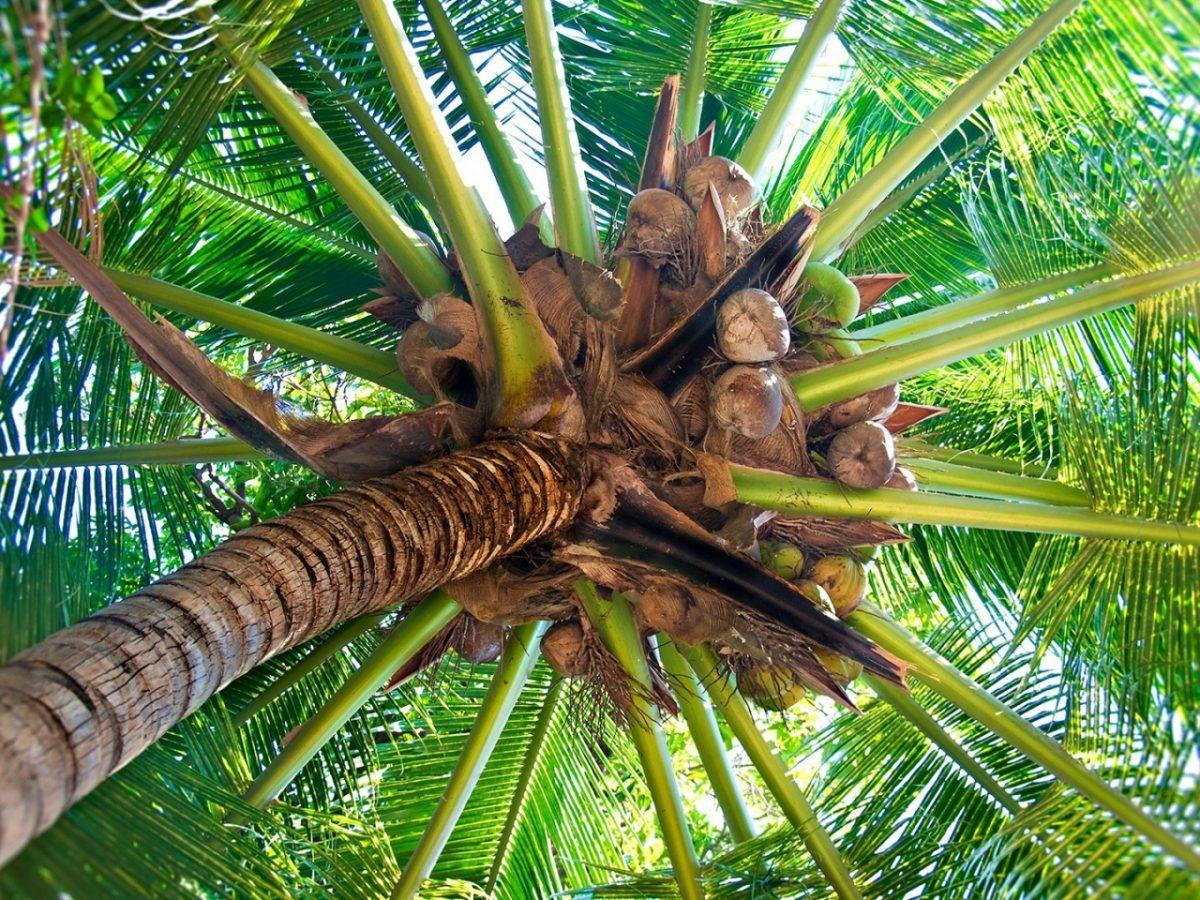 Cara Menanam Pohon Kelapa Agar Memperoleh Bibit Unggul